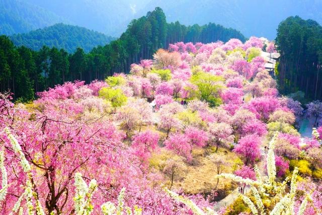 吉野山の一目千本桜