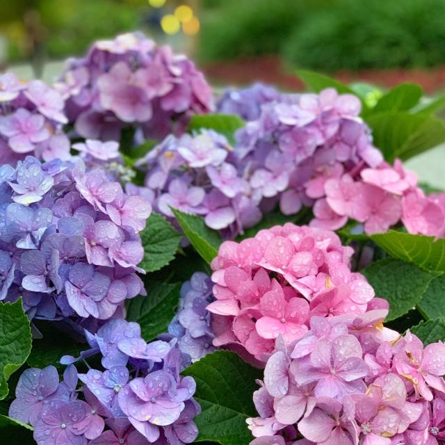 紫陽花の青い花と赤い花の画像