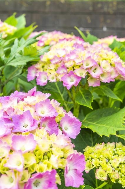 淡い色の紫陽花の画像