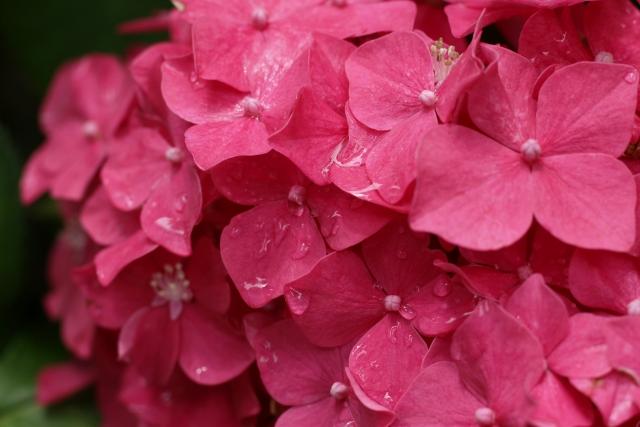 艶やかな赤い紫陽花