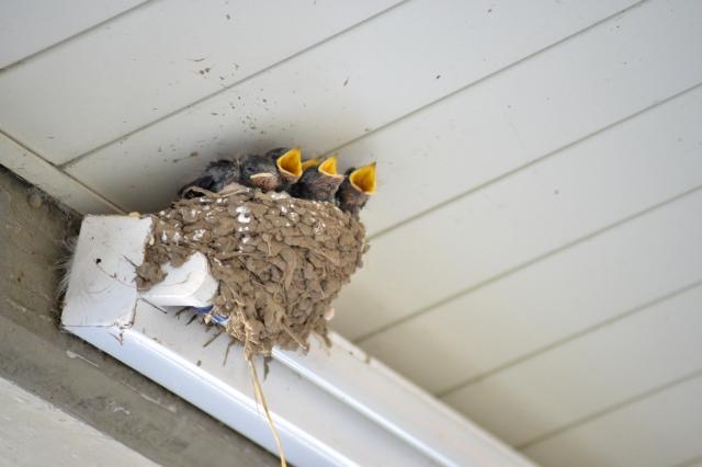 ツバメの雛鳥がいる巣